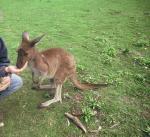 Кенгуру Беннета Валлаби - это карликовые кенгуру, достигают небольших размеров до 1-го метра.