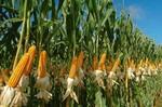 Гибриды семян кукурузы Сингента