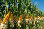 Гибриды семян кукурузы Лимагрейн