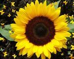 Гибриды семена подсолнечника под Экспресс