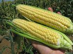 Семена кукурузы Свит наггет
