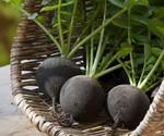 Семена черной редьки Черноморочка