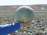 Семена белокочанной капусты Сторкинг F1