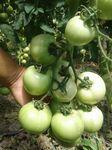 Семена томата СА-309 F1 - Акция!