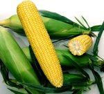 Семена кукуруза Ноа F1