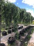 Саженцы плодовых деревьев в питомнике